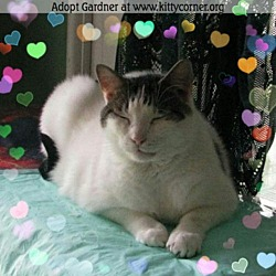Photo 3 - Domestic Shorthair Cat for adoption in Liverpool, New York - Gardner