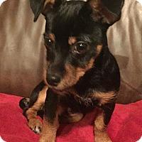 Adopt A Pet :: Felix - Oakley, CA