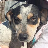 Adopt A Pet :: Trixie AD 03-05-16 - Preston, CT