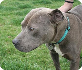 Pit Bull Terrier Mix Dog for adoption in Huntsville, Alabama - 458413