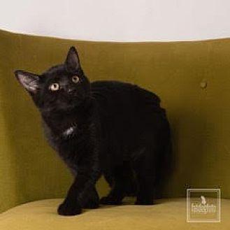 Domestic Shorthair Cat for adoption in Lambertville, New Jersey - Hunter