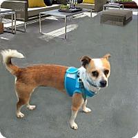 Adopt A Pet :: Murphy NEEDS FOSTER - Redondo Beach, CA