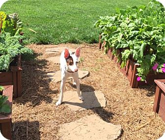 Rat Terrier Dog for adoption in Libertyville, Illinois - Miss Riley