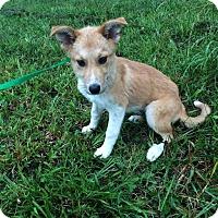 Adopt A Pet :: Poppy - Manassas, VA