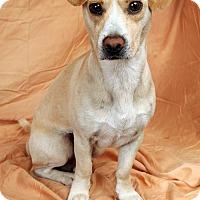 Adopt A Pet :: Mister Beagle Dashmix - St. Louis, MO