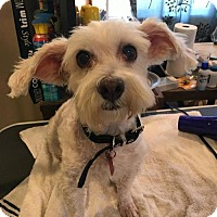 Maltese/Terrier (Unknown Type, Medium) Mix Dog for adoption in sylmar, California - coco