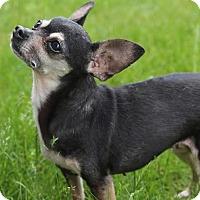 Chihuahua Mix Dog for adoption in Minneapolis, Minnesota - Luna