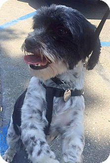 Shih Tzu/Terrier (Unknown Type, Small) Mix Dog for adoption in Seward, Alaska - sparky