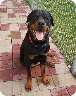 Rottweiler Dog for adoption in Fargo, North Dakota - Moose