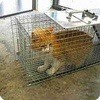 Adopt A Pet :: SCULLY - Tulsa, OK
