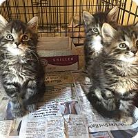 Adopt A Pet :: Socks PENDING ADOPTION - Anderson, SC
