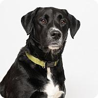Adopt A Pet :: Mr. Dibble aka Dibbs - Westfield, NY
