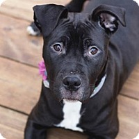 Pit Bull Terrier Mix Dog for adoption in Rochester, New York - Laney