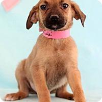 Adopt A Pet :: Tulsi - Waldorf, MD