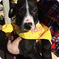 Adopt A Pet :: Baby Niles - Rockville, MD