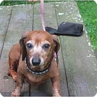 Adopt A Pet :: Molly(red dapple mini) - Killingworth, CT