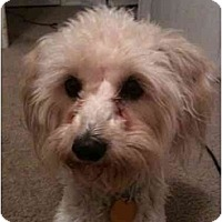 Adopt A Pet :: Luci - Arlington, TX