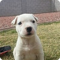 Adopt A Pet :: Snow - Only $95 adoption! - Litchfield Park, AZ