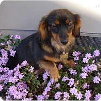 Adopt A Pet :: Ladybug - San Jose, CA
