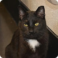 Domestic Shorthair Cat for adoption in Akron, Ohio - Ichabod