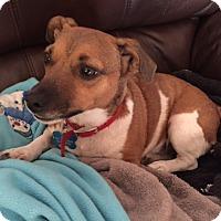 Adopt A Pet :: Annie In Austin, Texas - San Antonio, TX