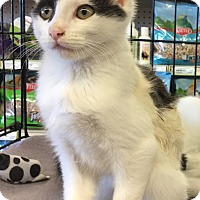 Adopt A Pet :: Percy - Gilbert, AZ