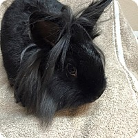 Lionhead Mix for adoption in Idaho Falls, Idaho - Clementine