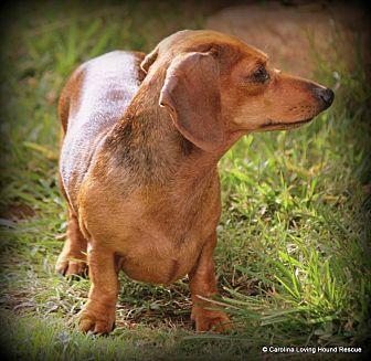 Dachshund Dog for adoption in Greenville, South Carolina - Pia