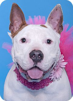 Bull Terrier Mix Dog for adoption in Chicago, Illinois - China