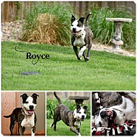 Adopt A Pet :: Royce - Sioux Falls, SD