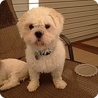 Westie, West Highland White Terrier/Lhasa Apso Mix Dog for adoption in Paramus, New Jersey - Storm