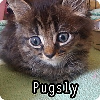 Adopt A Pet :: Pugsly - Trevose, PA
