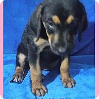 Adopt A Pet :: Linny - Batesville, AR