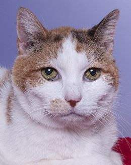 Calico Cat for adoption in Chicago, Illinois - Isabelle