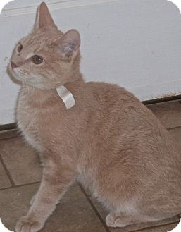 Domestic Shorthair Cat for adoption in Buhl, Idaho - Cooper