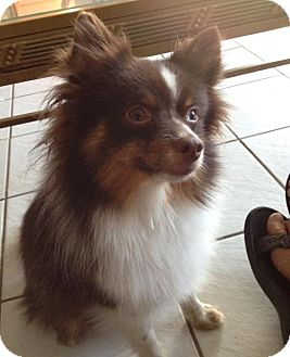 Pomeranian Dog for adoption in Oviedo, Florida - Finley