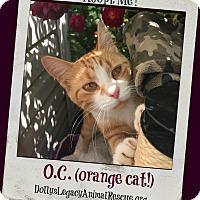 Adopt A Pet :: O.C. (orange cat!) - Lincoln, NE