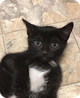 Domestic Shorthair Kitten for adoption in Nashville, Tennessee - Clarke