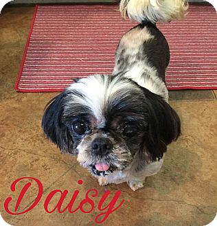 Shih Tzu Dog for adoption in Walker, Louisiana - Daisy