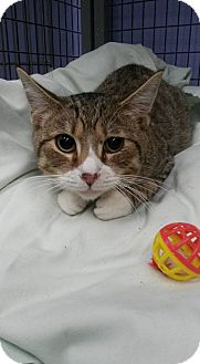 Domestic Shorthair Cat for adoption in Flemington, New Jersey - Timmy