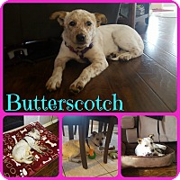 Adopt A Pet :: Butterscotch - Ft Worth, TX