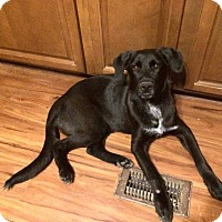 Adopt A Pet :: Mistress Midnight - Greenville, NC