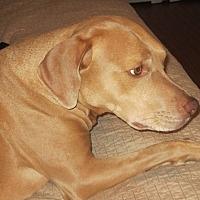 Adopt A Pet :: Simon - Cerritos, CA