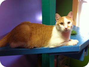 Domestic Shorthair Cat for adoption in Topeka, Kansas - Gato