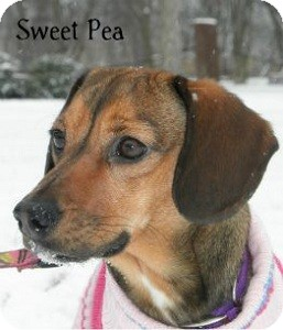 Hound (Unknown Type) Mix Dog for adoption in Warren, Pennsylvania - Sweet Pea