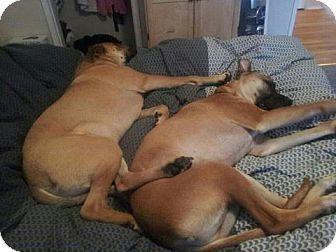 Mastiff Shepherd Mix Type)/mastiff mix dog for