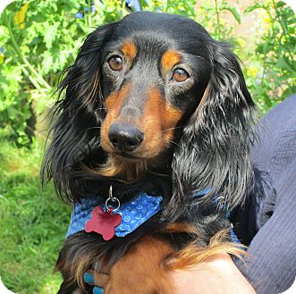 Dachshund Dog for adoption in Portland, Oregon - ALFIE