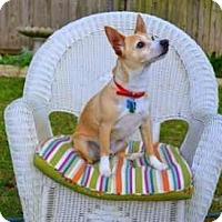 Adopt A Pet :: Trigger in Round Rock - San Antonio, TX