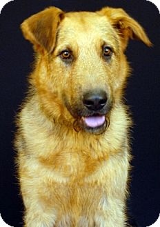 Newland, NC - Airedale Terrier/German Shepherd Dog Mix ...