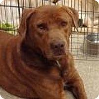 Adopt A Pet :: Kit Kat - Las Vegas, NV